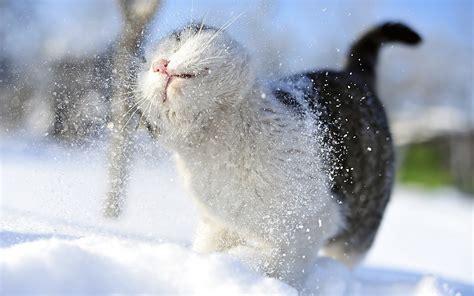 Download Snow Cats Wallpaper 1920x1200 Wallpoper #389409