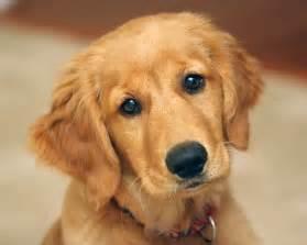 Cute Baby Golden Retriever Puppies Cute Baby Golden Retriever