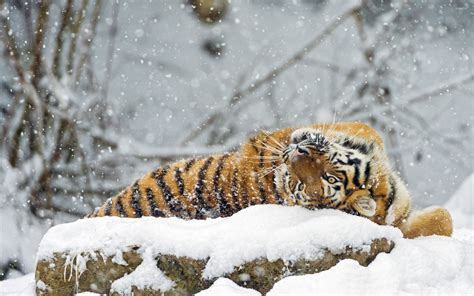 Tiger rolling in snow wallpaper Animal wallpapers #33722