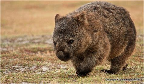 Wombat Pictures, Facts, Information, Diet, Appearance