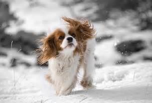 Cavalier King Charles Spaniel Dog Puppies king charles cavalier