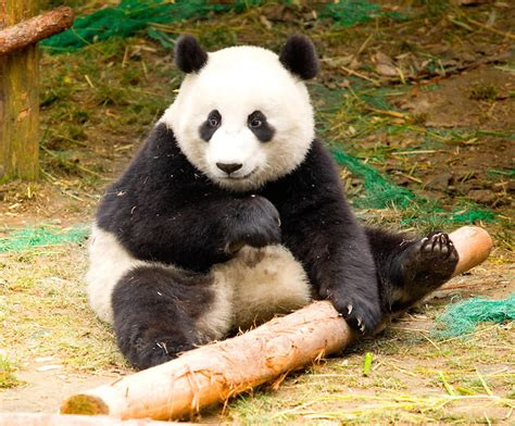 Buckets of Cute: Pandas at Sichuan Giant Panda Sanctuaries