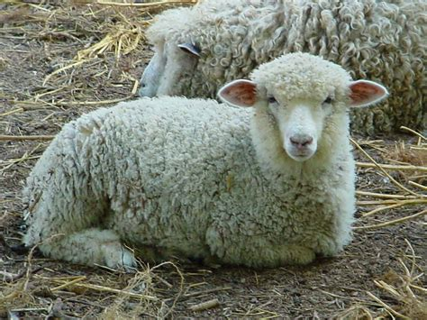 Free Sheep Wallpaper Animals Town