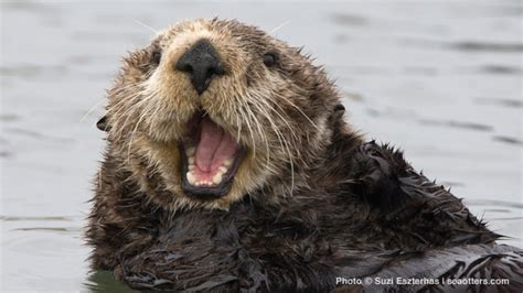 Governor Brown signs legislation to help sea otters