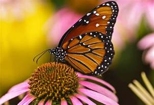 Monarch Butterfly National Geographic Society
