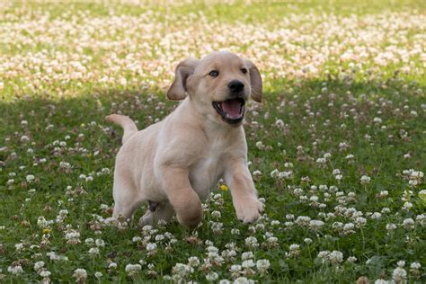 Sponsor A Puppy Buddy's Puppy Gallery Guide Dogs