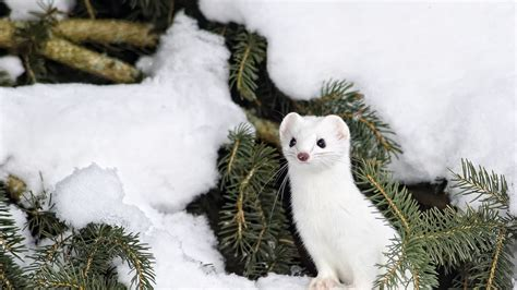 Winter Animal Background Animals Wallpapers Pinterest