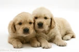 Pics Photos Wp27563 Two Golden Retriever Puppies