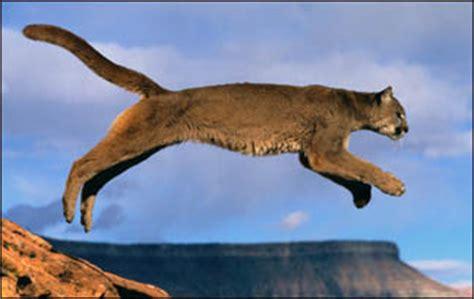 No 6 Jumping, the Puma Top 10 Animal Skills