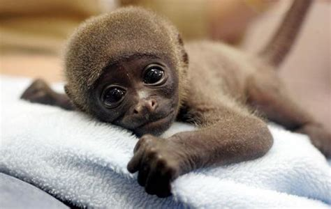 Cutest Baby Monkey Photos Baby Animalz