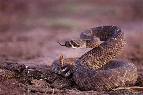 1000 images about Rattlesnake on Pinterest