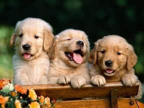 Golden Retrievers Fun Animals Wiki, Videos, Pictures, Stories