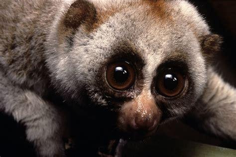 Slow Loris Duke Lemur Center