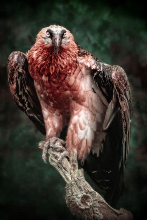 bearded vulture on Tumblr