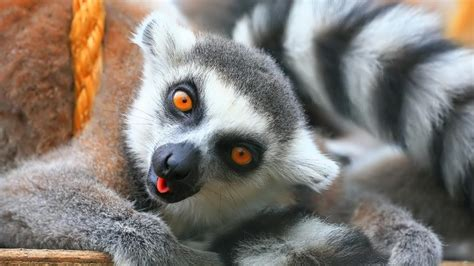 Lemur Desktop Backgrounds