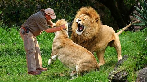 Man play with lions at the zoo Wild animals