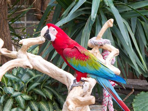 File:Ara chloropterus Bird Kingdom, Niagara Falls, Canada