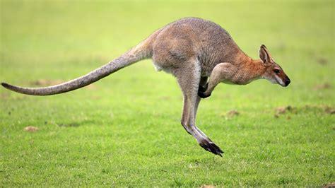 Kangaroo wallpaper