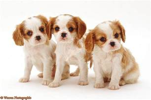 Cute Puppy Dogs: king charles spaniel puppies
