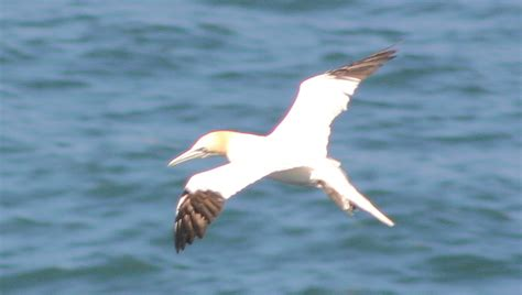Sea & Ocean Birds BIRDS BY COMMON NAME GROUPS