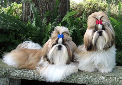 Shih Tzu images Shih Tzu HD wallpaper and background