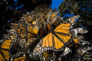Migrating Monarch Butterflies Use Magnetic Compass to Cut