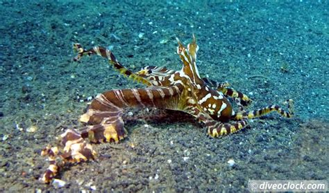 Lembeh The Best Muck Diving in The World (Sulawesi
