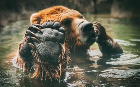 animals, Bears, Water, Paws Wallpapers HD / Desktop and