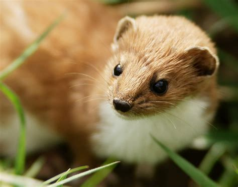 Picture 2 of 10 Weasel (Mustela Nivalis) Pictures