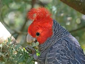 Birds: Gang gang Cockatoo Callocephalon fimbriatum