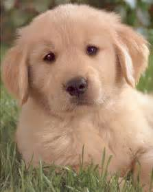 Cute golden retriever puppies playing,funny animalis Sources of,funny