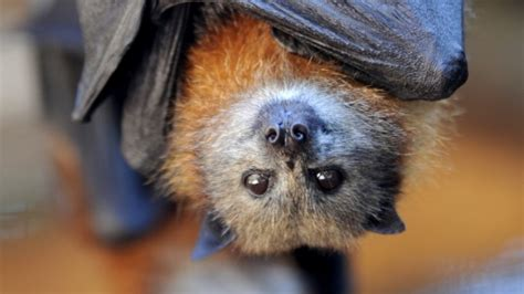 Not in my backyard? How to live alongside flying foxes in