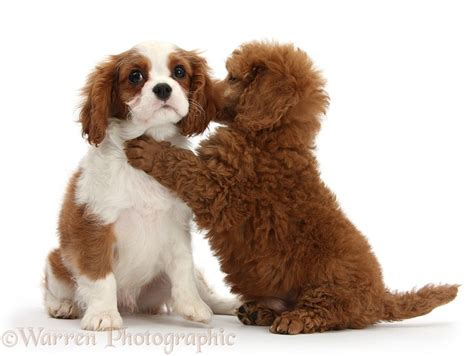 Dogs: King Charles pup with Poodle pup photo WP29225