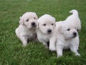 Fat Golden Retriever Puppies Golden retriever puppies 3