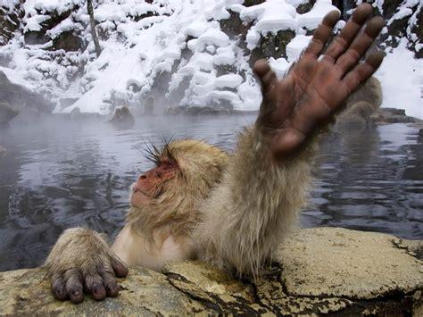 Free Snow Monkey Wallpaper download Animals Town