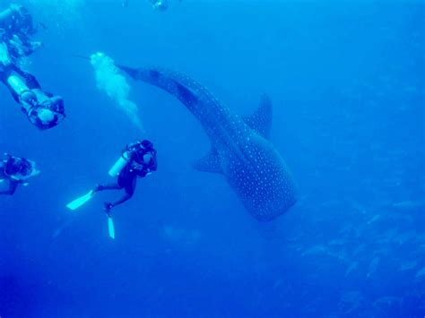 Belize Whale Shark Diving & Snorkeling Seahaorse Dive Shop