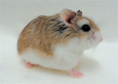 Dwarf Hamster Care: Roborovski, Russian & Chinese Hamster