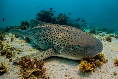 Sharks of Western Australia Ningaloo Reef Dive & Snorkel