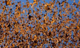 Mexico's Monarchs