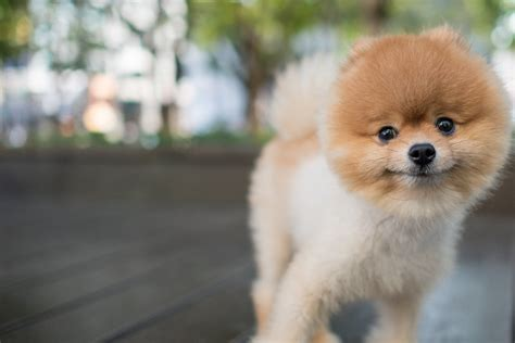 Pomeranian Dog Names Popular Male and Female Names Wag!