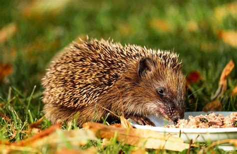 Free photo: Hedgehog, Animal, Hannah, Young Free Image