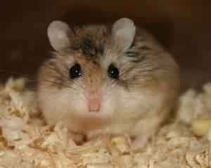 Review of roborovski hamster Mammal #3229