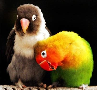 Pet Cure: How to care lovebirds at home