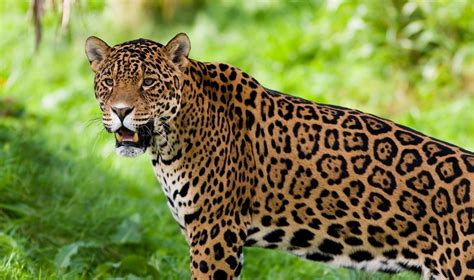 The gallery for > Jaguar Animal Face