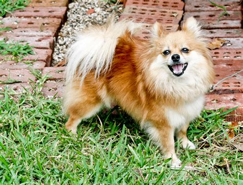 File:Pomeranian dog standingjpg Wikimedia Commons