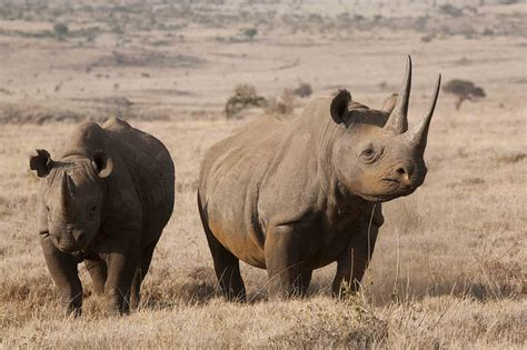 The most endangered African animals Drive South Africa