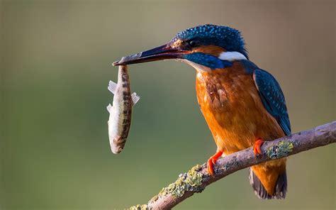 Kingfishers Wallpaper
