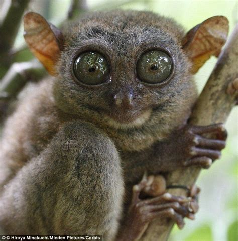 118 best Tarsier images on Pinterest Wild animals, Funny