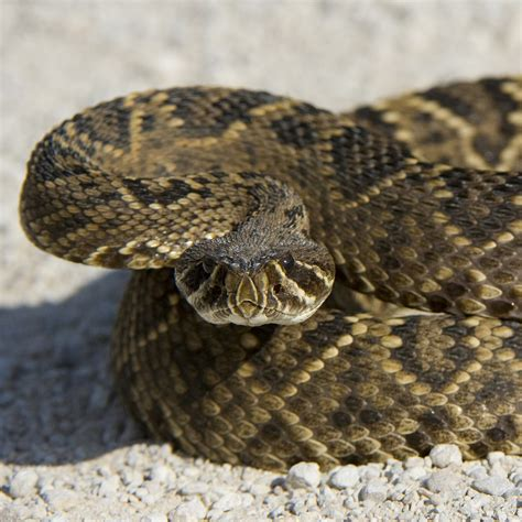 Diamondback Rattlesnake On The Ground In Arizona