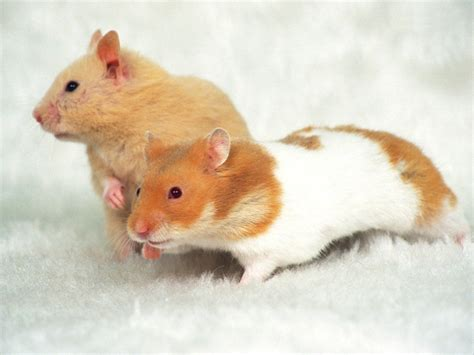 Hamster Wallpapers Fun Animals Wiki, Videos, Pictures, Stories